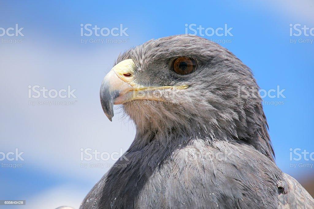 Preto buzzard Águia-chilena - foto de acervo
