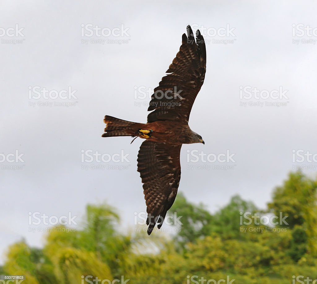 Black-chested snake eagle hunting stock photo