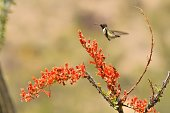 a hummingbird feeds on cactus flowers in central Arizona
