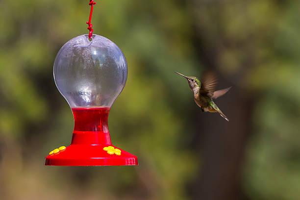 Black-chinned Hummingbird stock photo