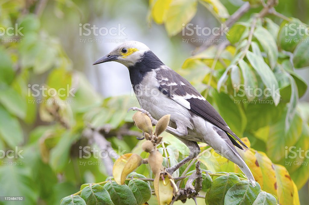 Black-collared Starling royalty-free stock photo