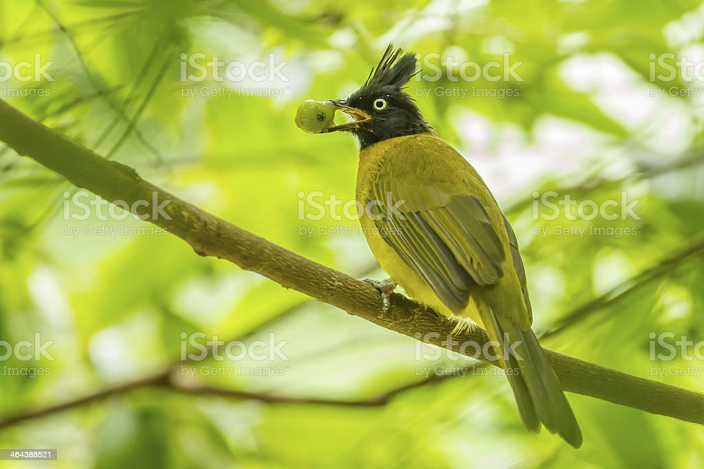 Black-crested Bulbul royalty-free stock photo
