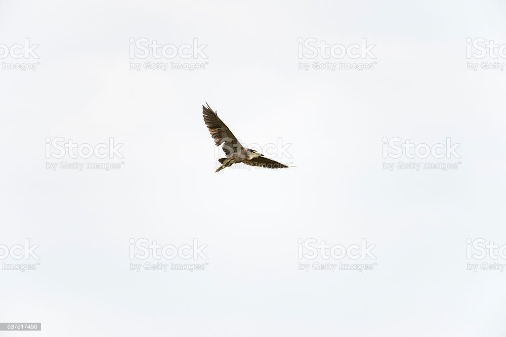 Black-crowned Night Heron adult stock photo