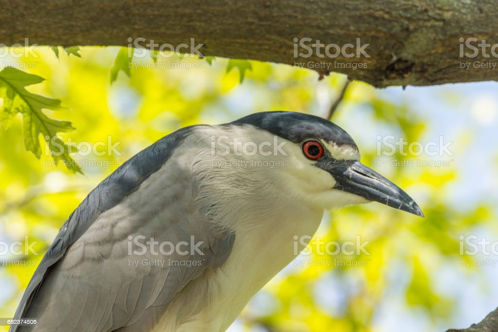 black-crowned night heron close up royalty-free stock photo