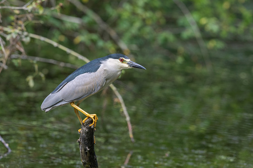 Male black-crowned night heron (Nycticorax nycticorax) perching on a stick.