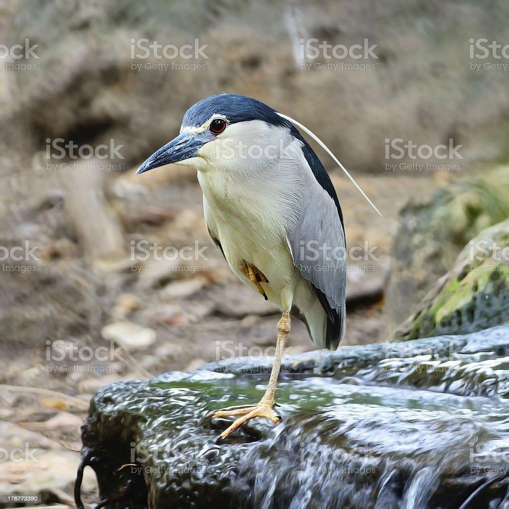 Black-crowned Night Heron royalty-free stock photo