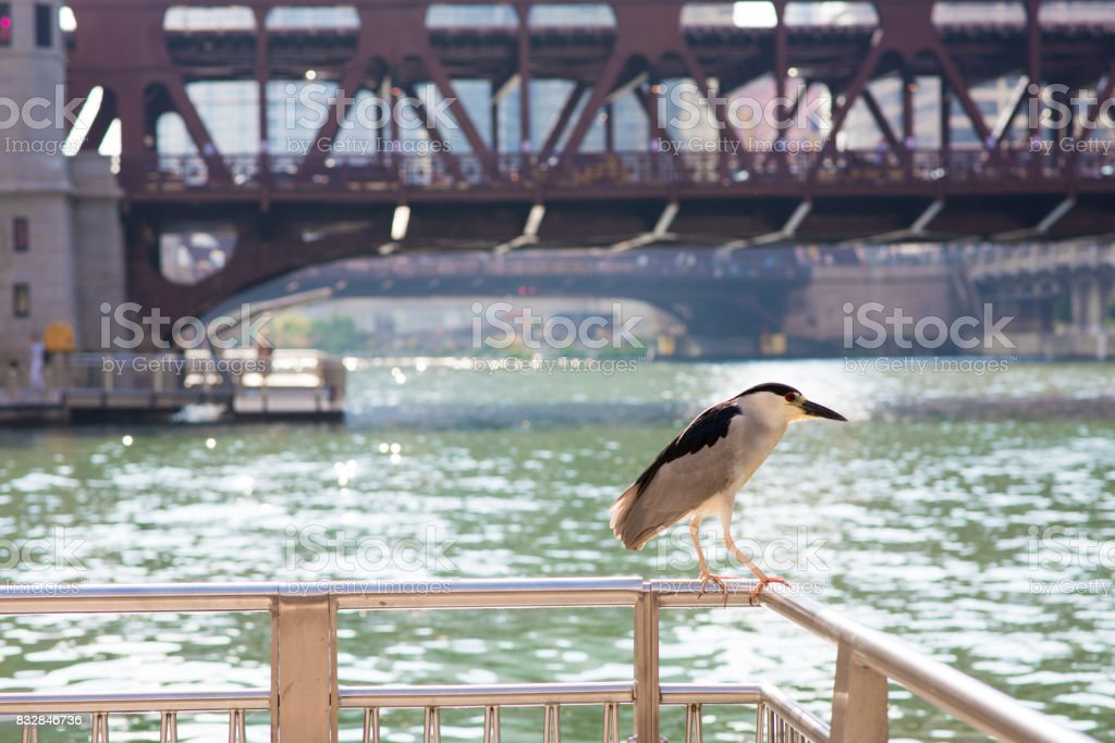 Black-crowned night-heron perched by the Chicago River stock photo