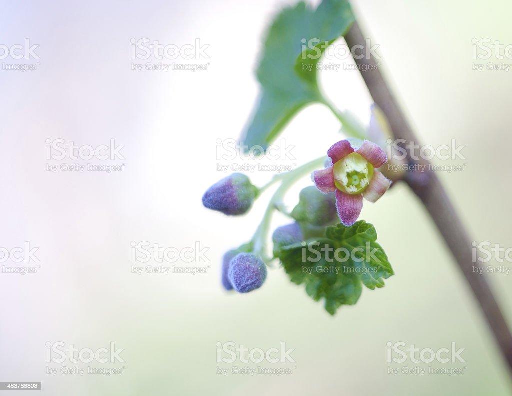 Blackcurrant Blossom stock photo