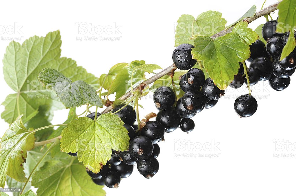 Blackcurrant bunch royalty-free stock photo