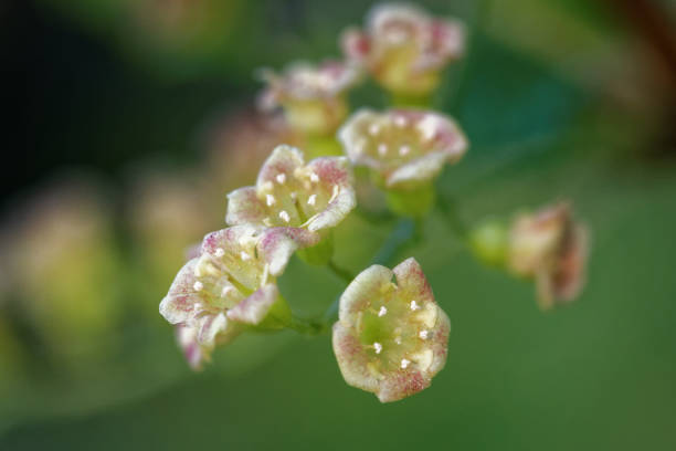Blackcurrant flowers stock photo