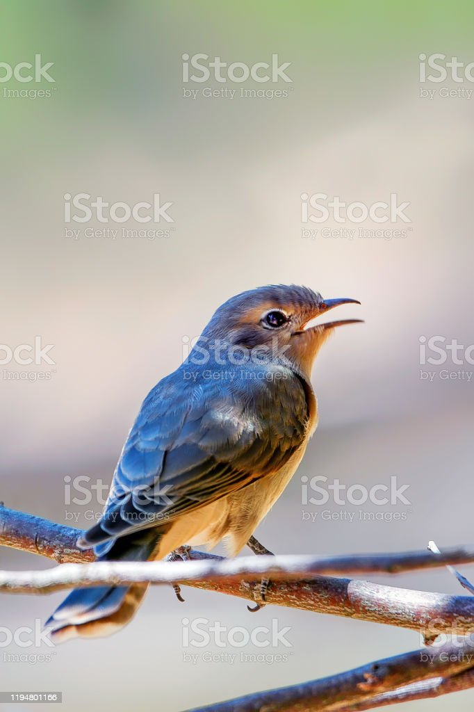 Black-eared Cuckoo Juvenile - Royalty-free Animal Stock Photo