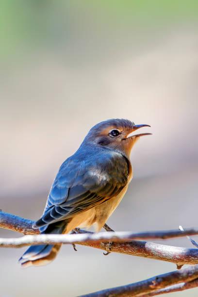 Black-eared Cuckoo Juvenile stock photo