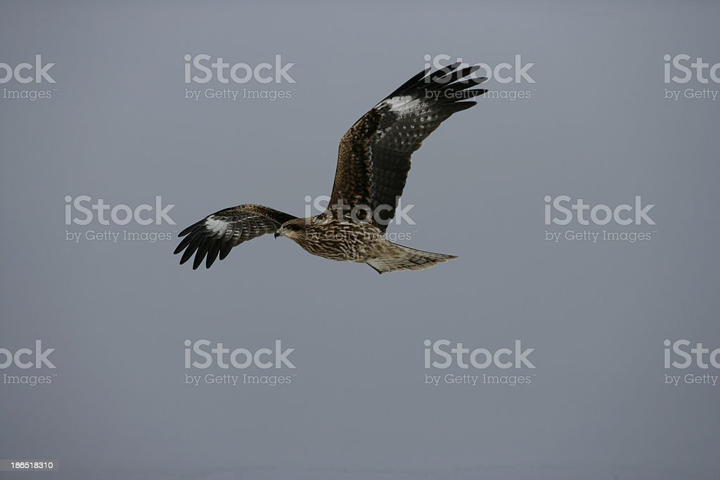 Black-eared kite, Milvus migrans lineatus royalty-free stock photo