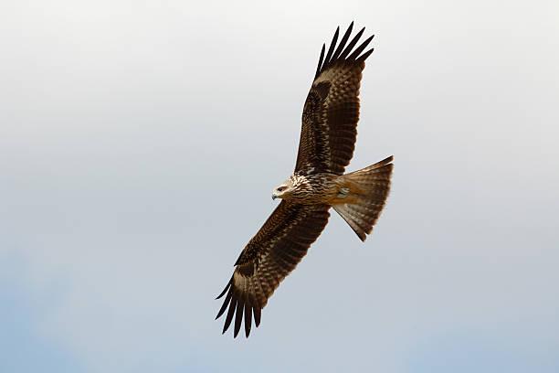 Black-eared kite stock photo