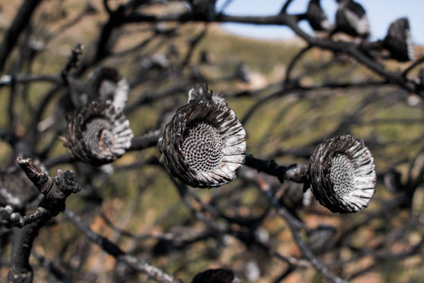 Blackened dead flower heads and branches after a fynbos mountain fire stock photo