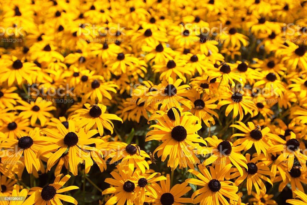 Blackeye Susan Flower Garden Close-up stock photo
