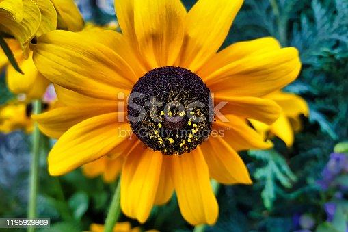 Close up Black-eyed rudbeckia - black globular flower basket with yellow flowers