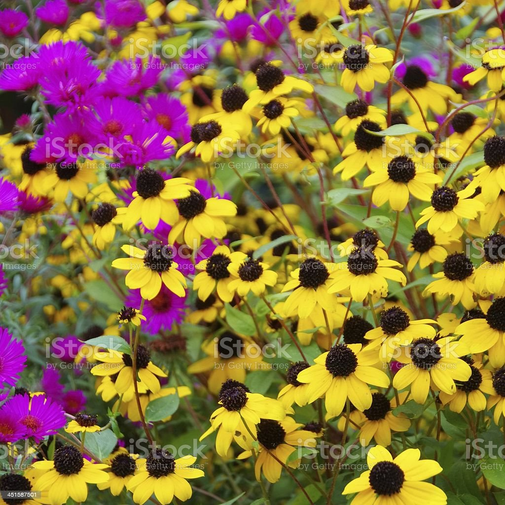 black-eyed Susan and aster stock photo