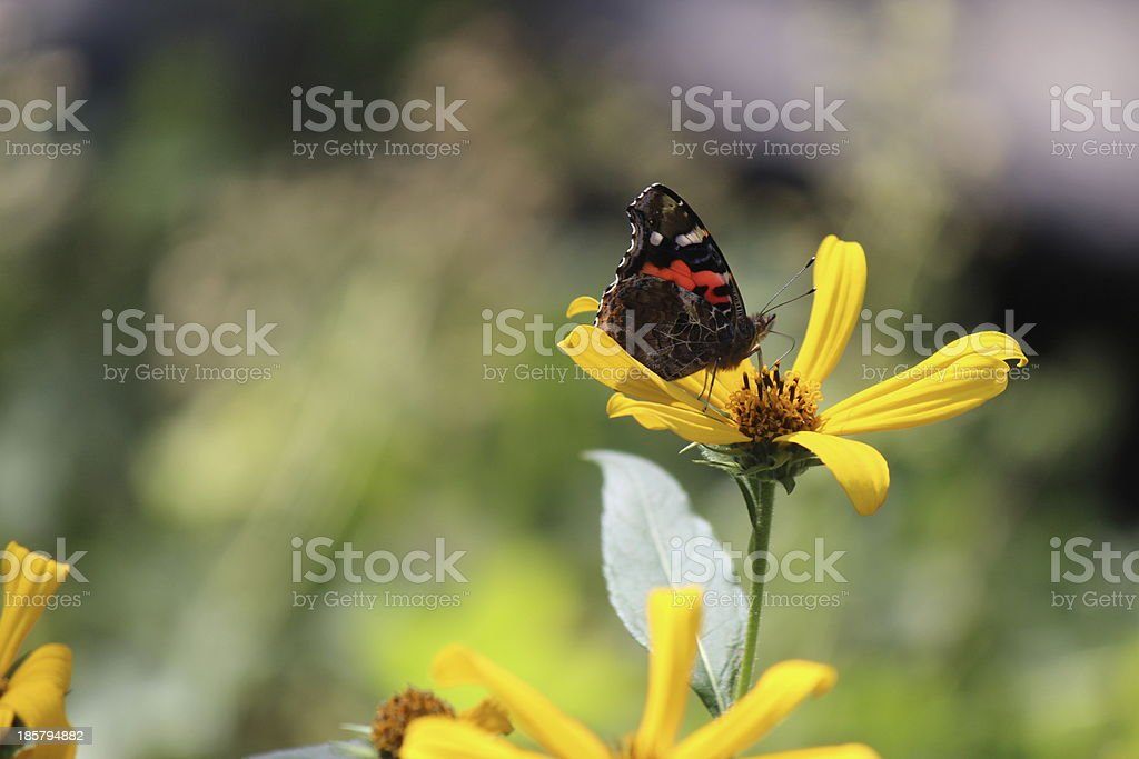 Black-Eyed Susan and Butterfly royalty-free stock photo