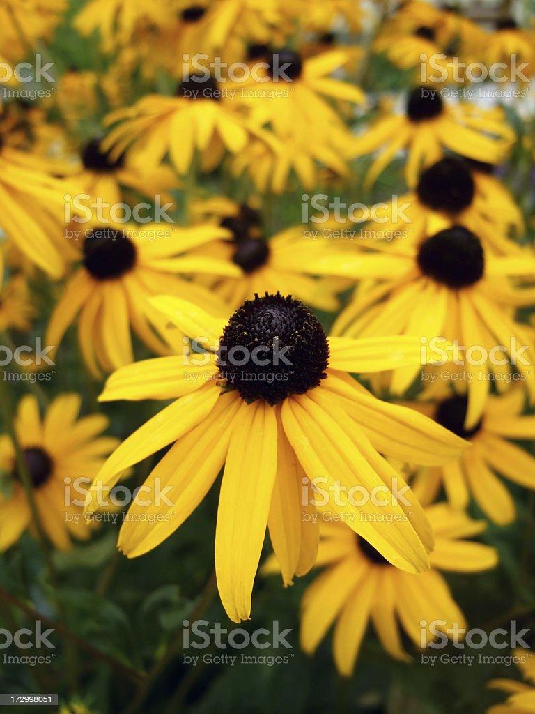 Blumengarten Sonnenhut – Foto