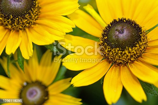 July 2020: Close-up of Black-Eyed Susan Flower