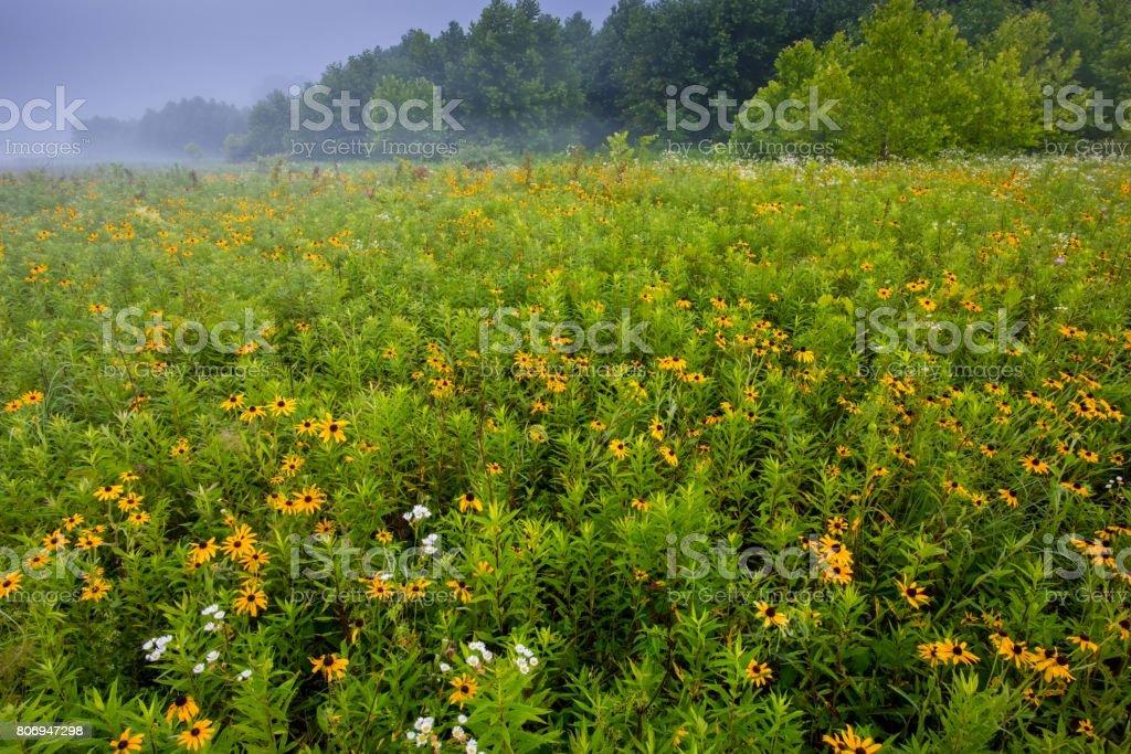 BlackEyed Susan Flowers at Sunrise in Hocking County stock photo