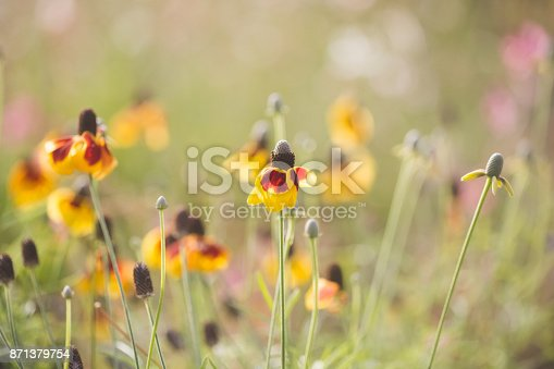 Pretty yellow and red black-eyed susan flowers in sunshine garden with soft bokeh background.