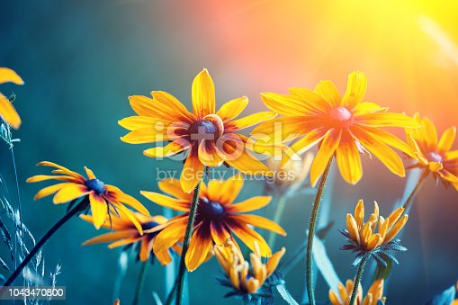 Black-eyed Susan Flowers in the garden at sunset