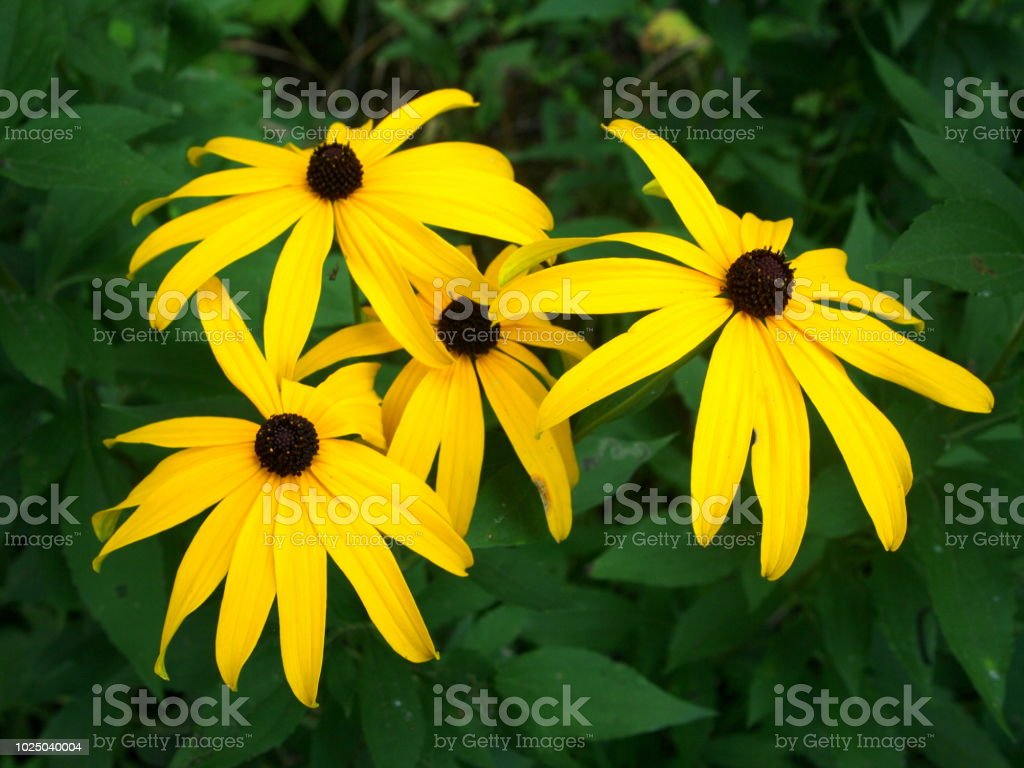 Blackeyed Susan Flowers On Green Background Yellow Coneflowers With
