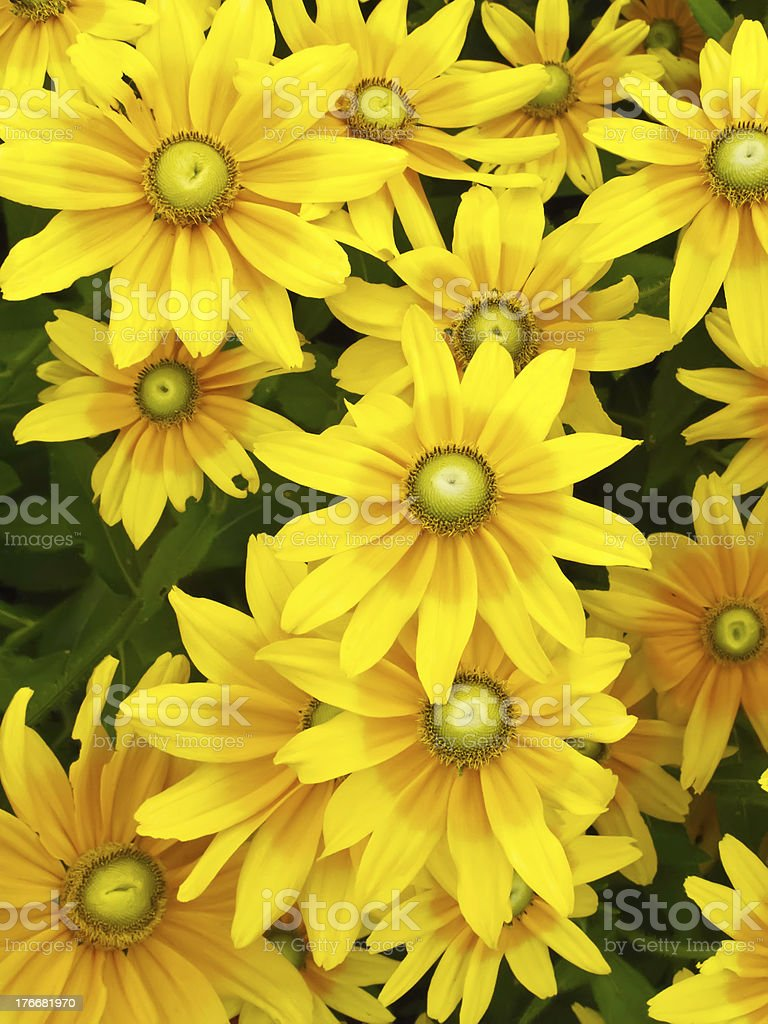 Black-eyed Susan hybrid royalty-free stock photo