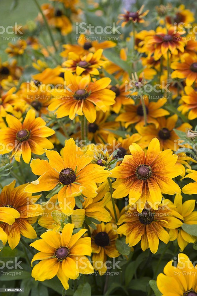Black-eyed Susan (Rudbeckia hirta) royalty-free stock photo