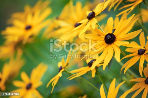 Close up of Black-eyed Susans (Rudbeckia hirta).