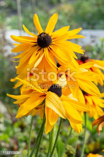 Black-eyed Susan Rudbeckia hirta is the state flower of Maryland. Beautiful garden flowers tall yellow brown. Perennial garden flowers asters Rudbeckia Echinacea