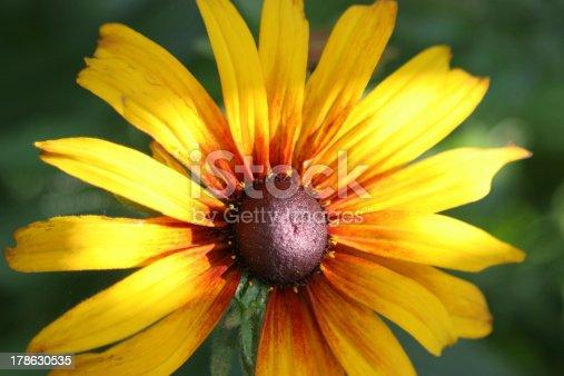 The black-eyed Susan, Rudbeckia hirta in afternoon sun.