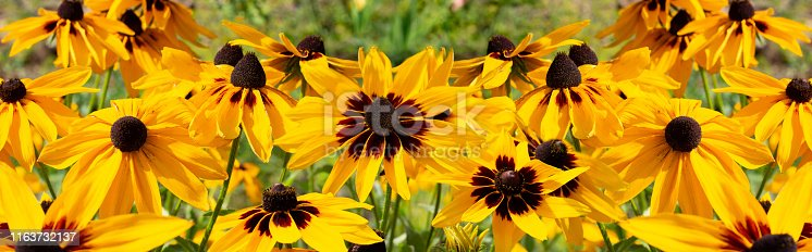 Black-eyed Susan Rudbeckia hirta yellow flower, banner background wallpaper. Decorative beautiful garden flowers, large panorama