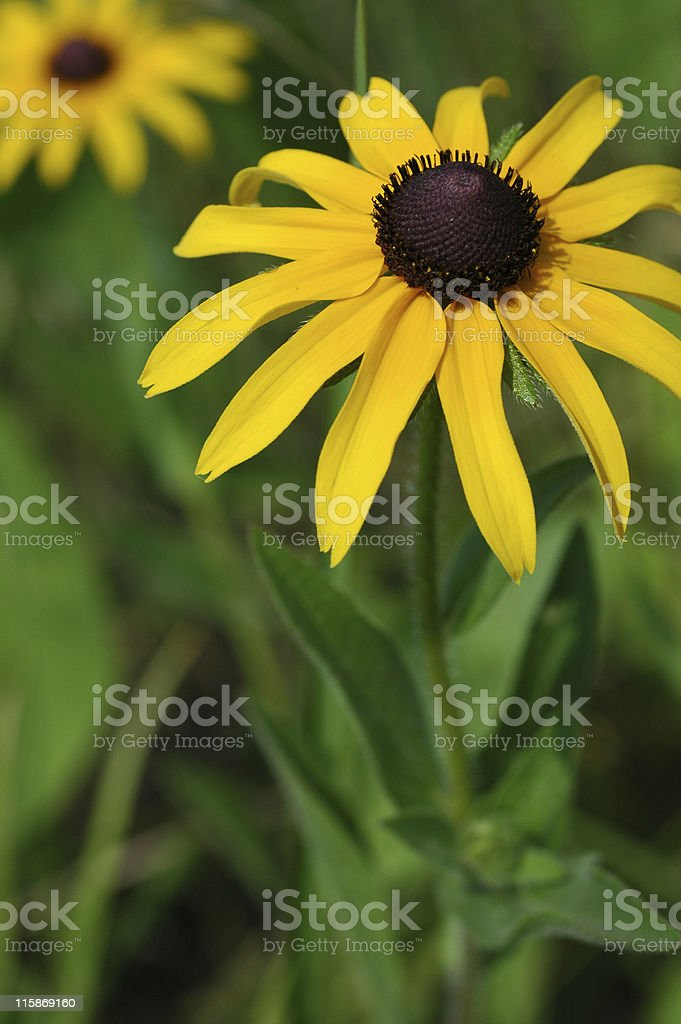 black-eyed Susan, Rudbeckia hirta, yellow flowers royalty-free stock photo