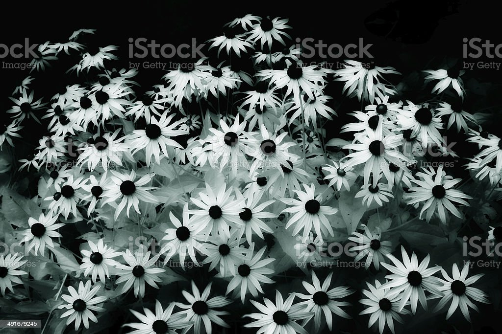 Black-Eyed Susans in Infrared stock photo