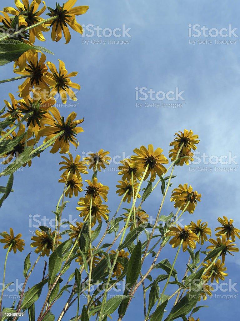 Black-Eyed Susans Looking Upwards into Cerulean Sky stock photo