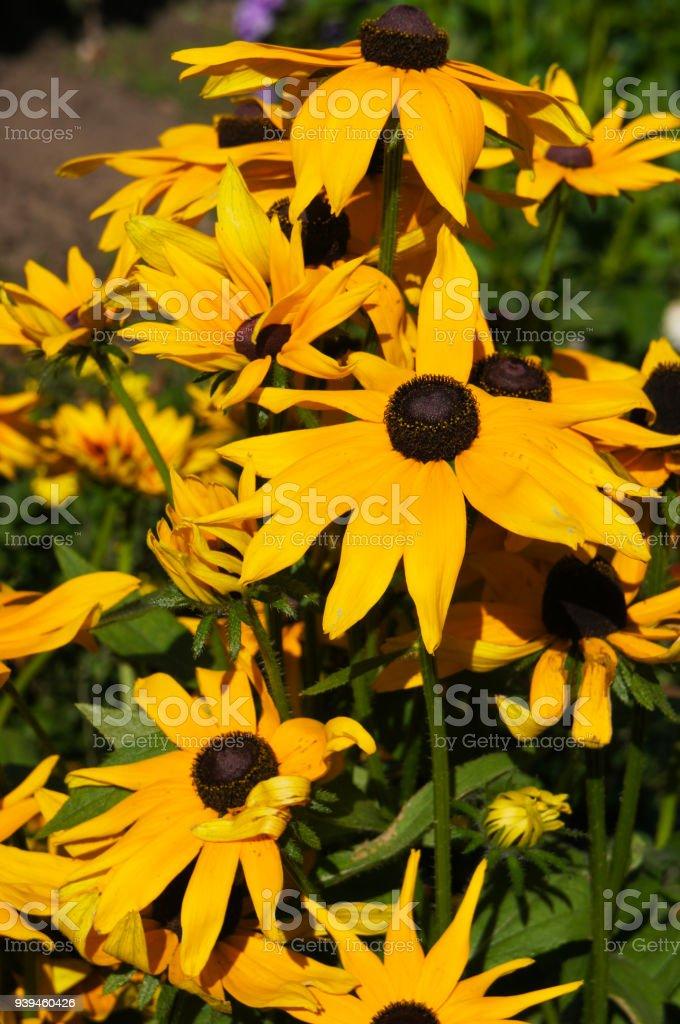 Black-eyed Susans or Rudbeckia hirta yellow many flowers stock photo