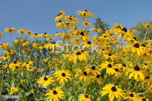 A low angle view of a summer garden of blackeyed susans against a clear blue sky..