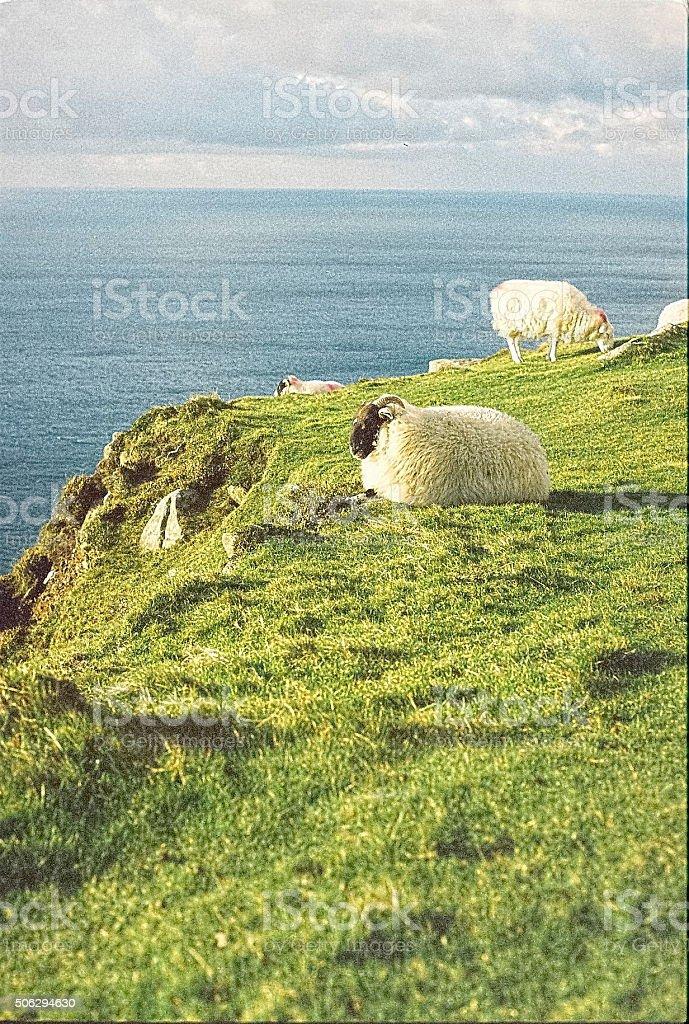 Blackface Sheep graze above Irish coastline stock photo