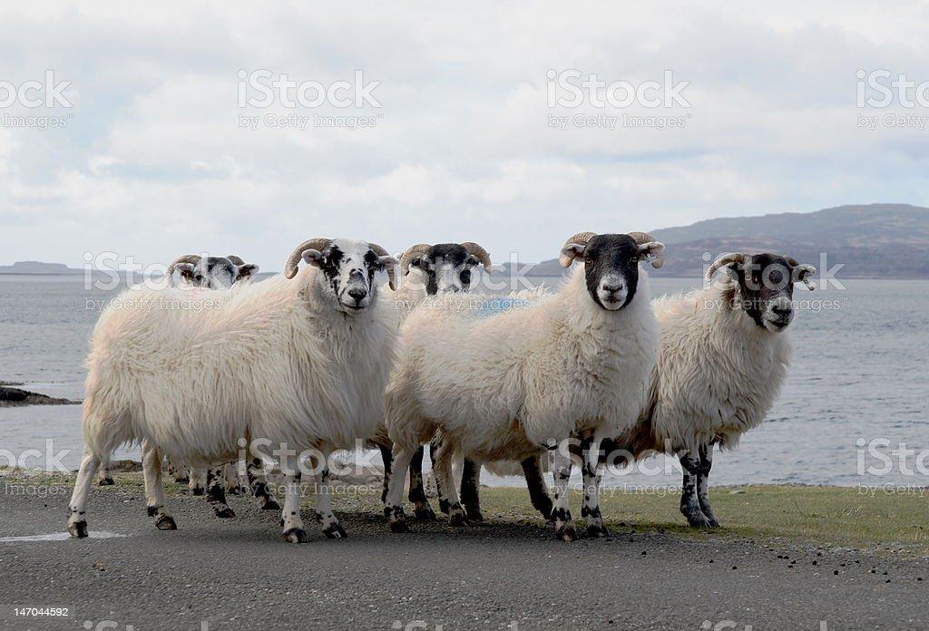 Blackface Sheep on Mull stock photo