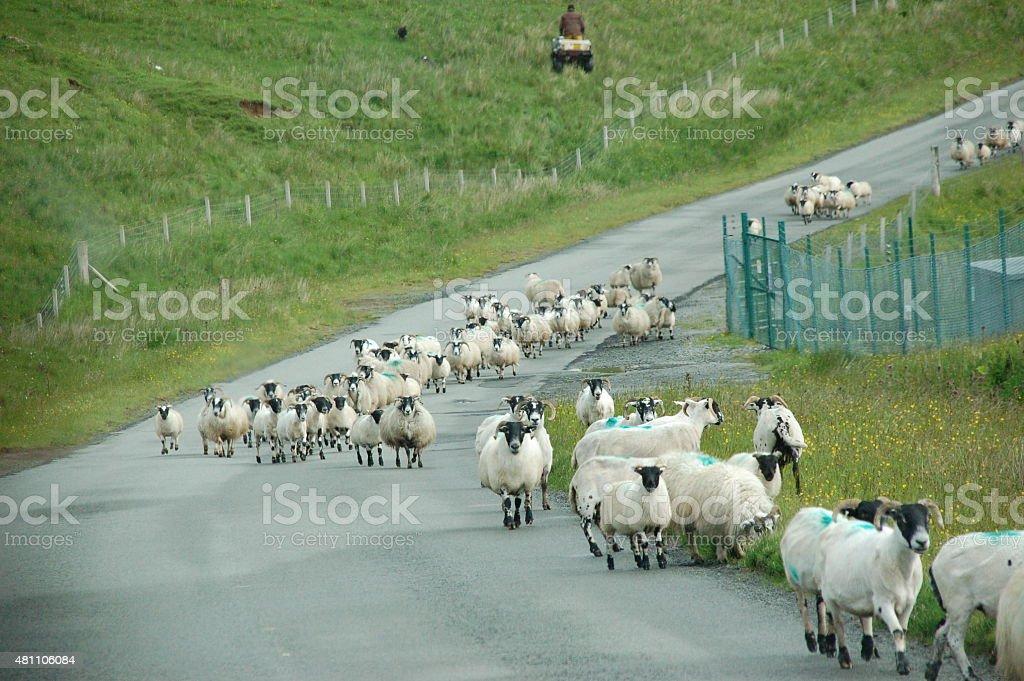 Blackface Sheep stock photo