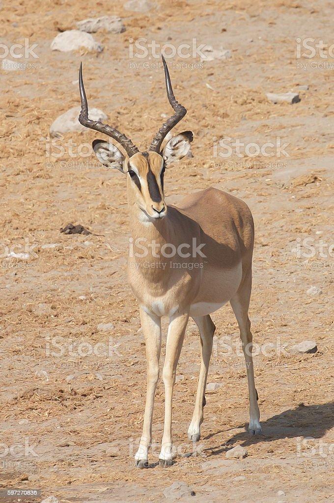 Black-Faced Impala royalty-free stock photo