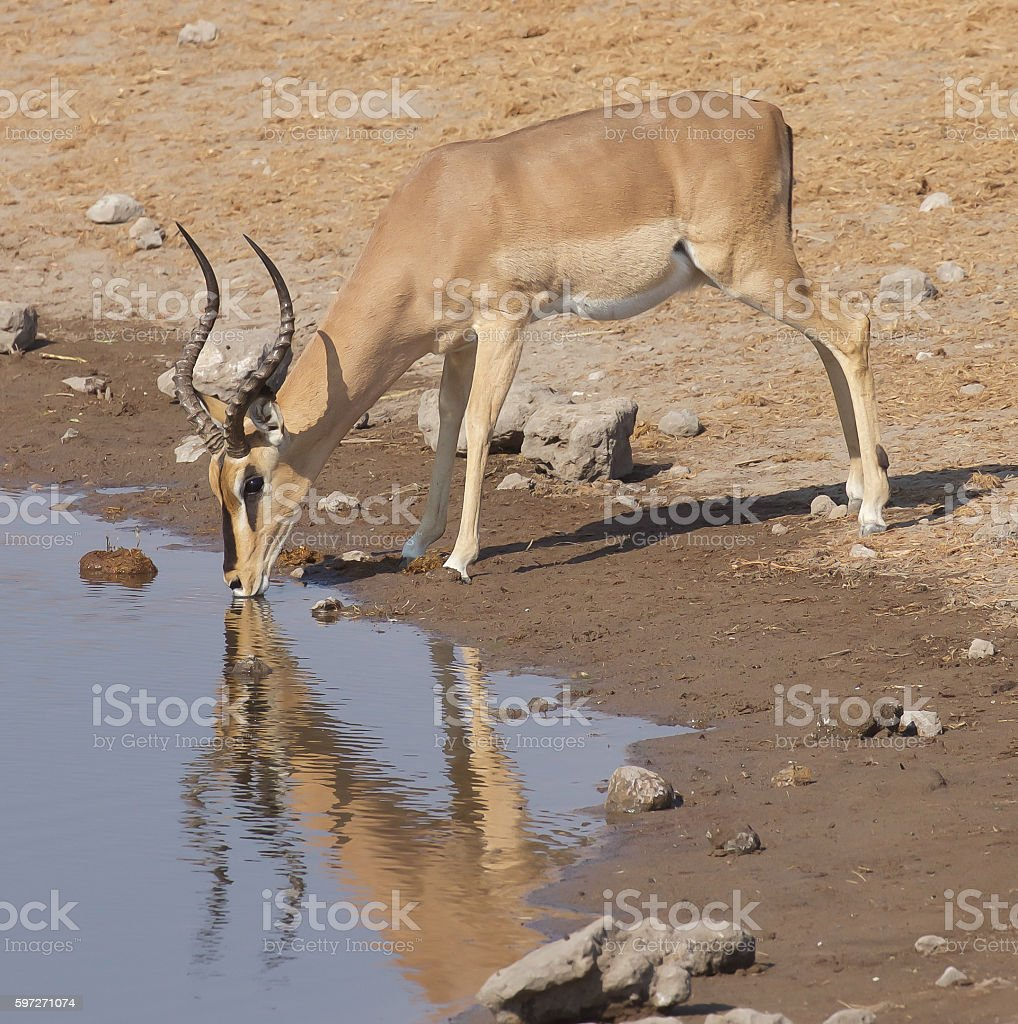 Black-Faced Impala royalty-free stock photo