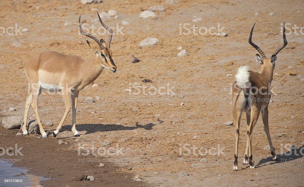 Impala à mufle noir photo libre de droits