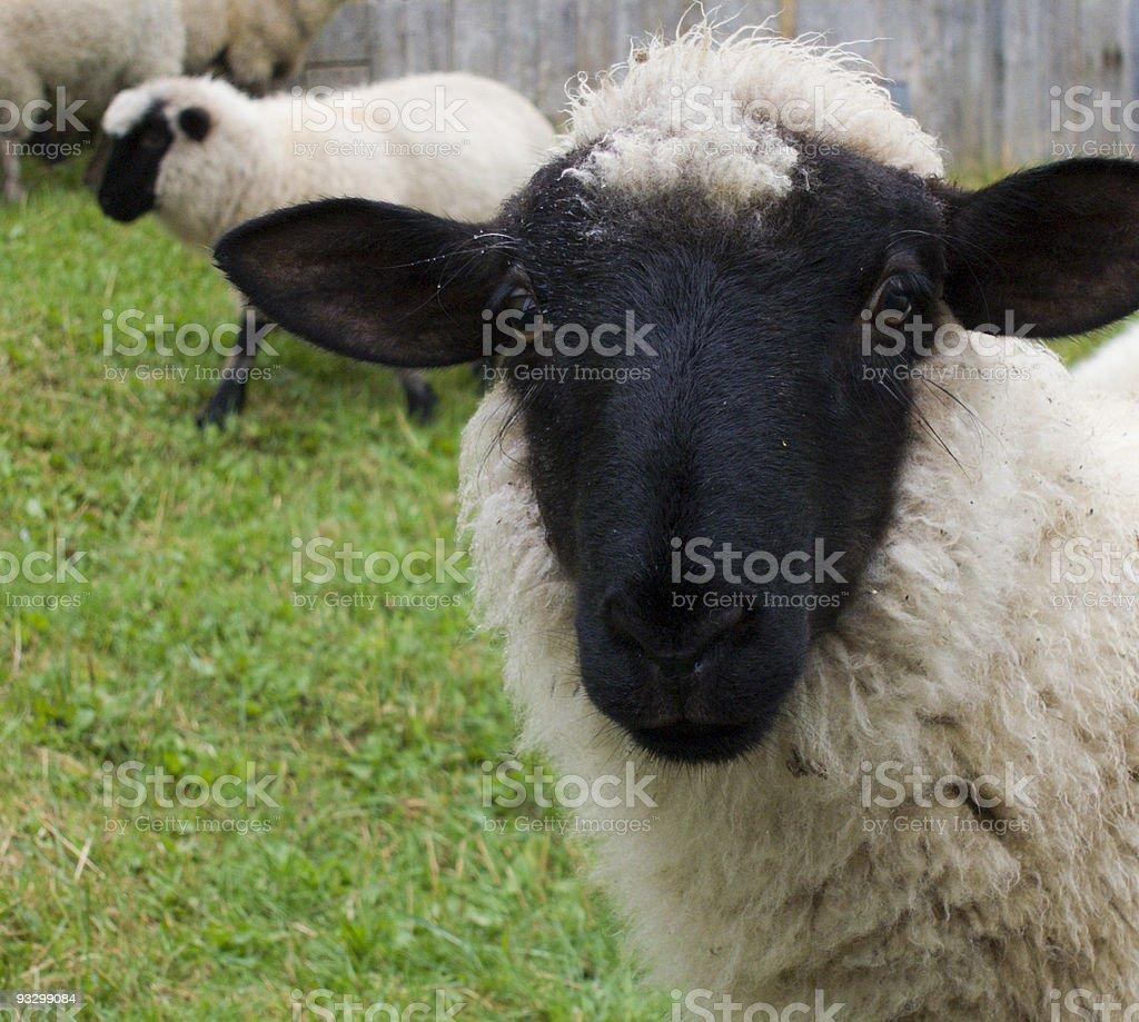 Black-faced lamb royalty-free stock photo