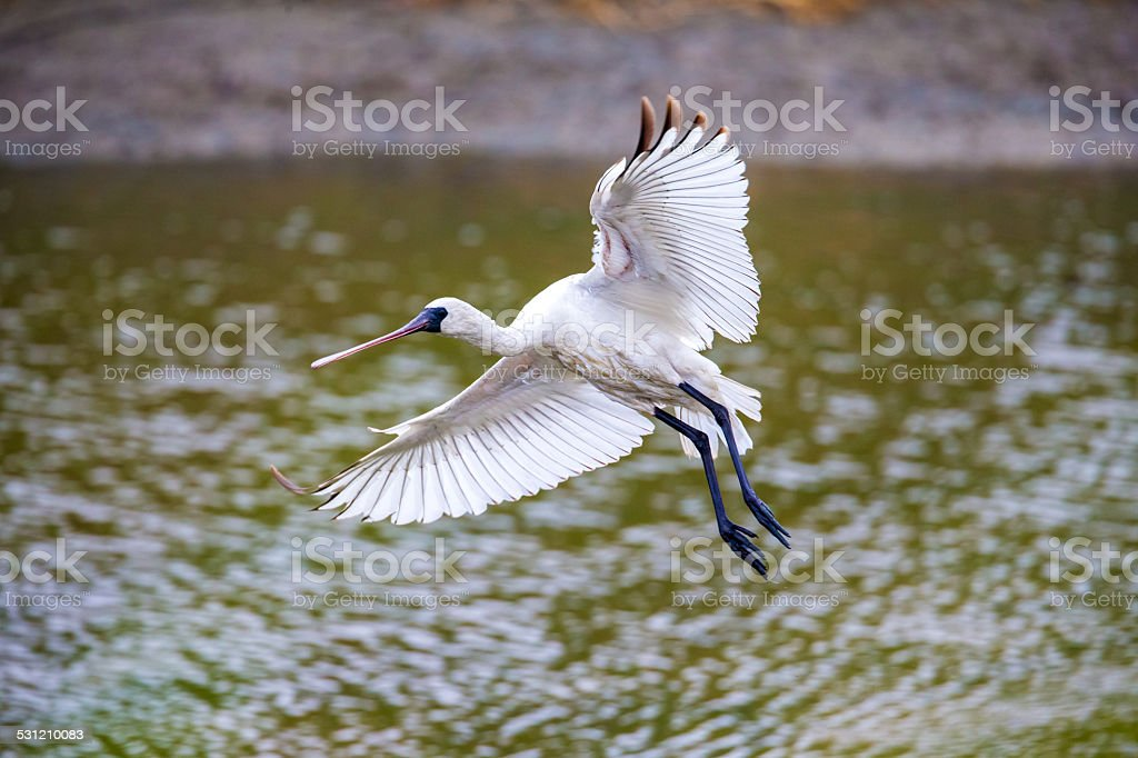 Black-faced Spoonbill flying - prepare to landing stock photo