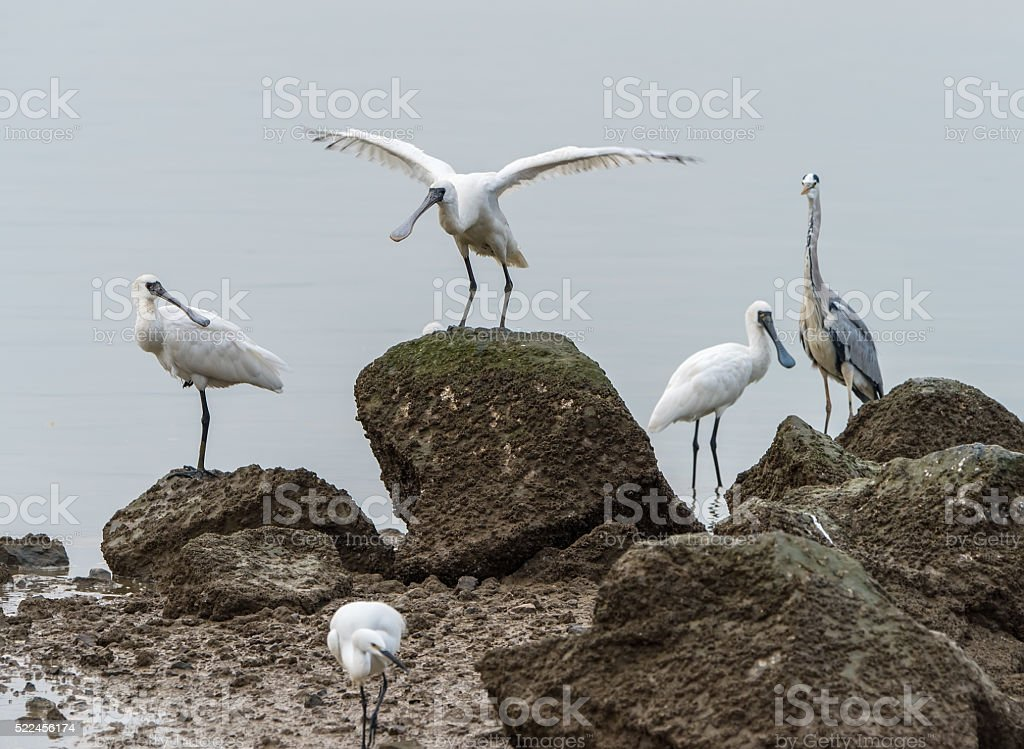 Black-faced Spoonbill in shenzhen China, stock photo