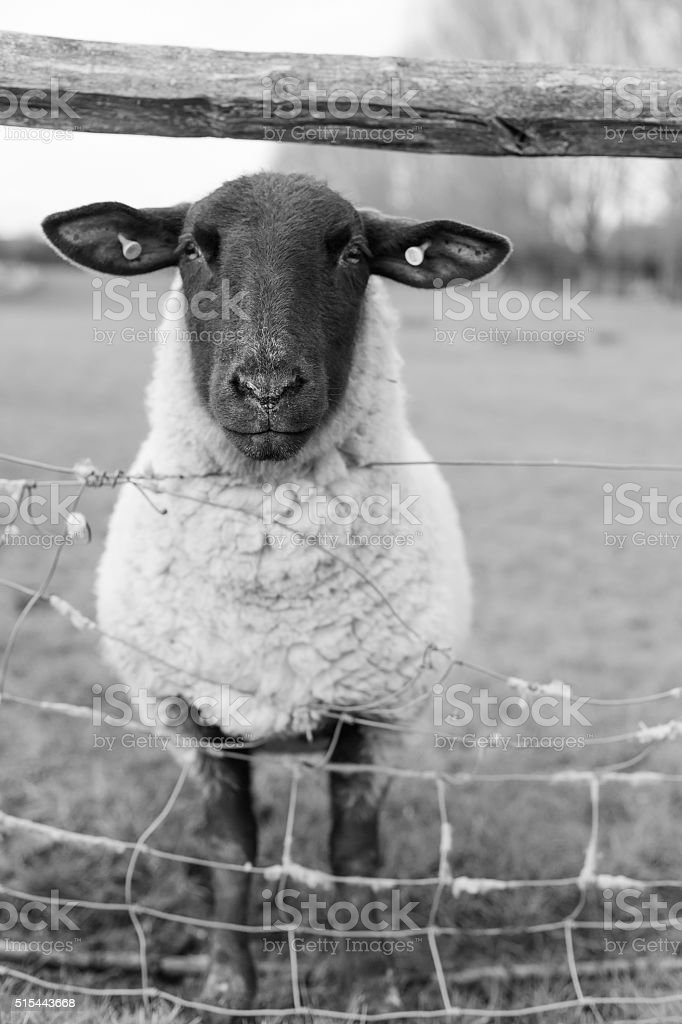 Black-faced Suffolk sheep at fence stock photo